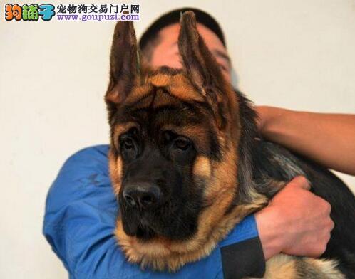 杭州出售德国牧羊犬质量三包一月包换血统纯正品相完美