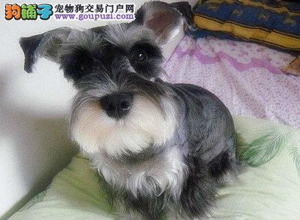出售高品质小体海口雪纳瑞犬 签订售后合同 非诚勿扰