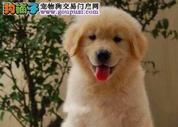 转让毛量丰厚骨骼健壮的武汉金毛犬 终身免费售后服务