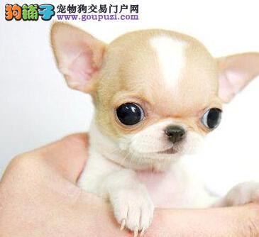 转让苹果头超小体的徐州吉娃娃幼犬 疫苗驱虫均已做好