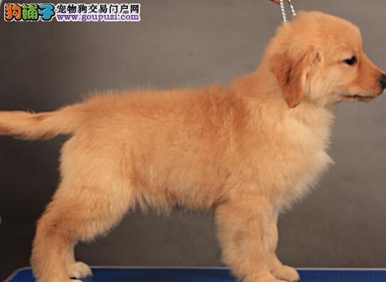 家养高品质金毛犬转让宁波市区内购犬可送货上门
