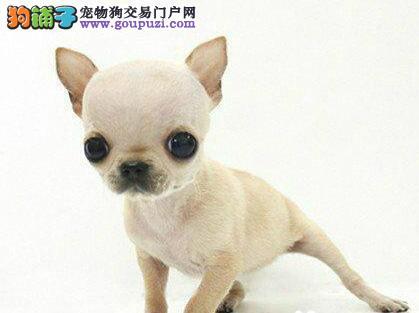 苏州什么地方卖的吉娃娃犬 苏州哪里卖的吉娃娃包健康