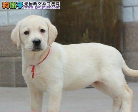 专业正规犬舍热卖优秀的拉布拉多微信选狗直接视频