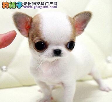 苹果脑袋吉娃娃幼犬 体型超小 非常可爱