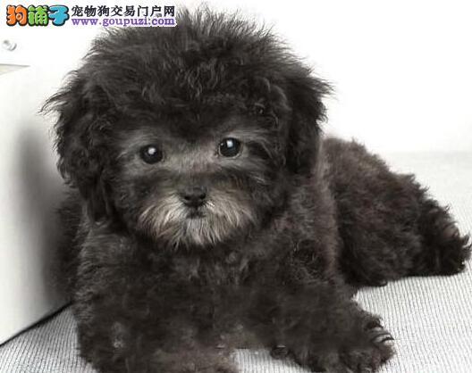 质量优秀的韩系哈尔滨泰迪犬出售 可赠送狗笼子狗用品