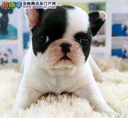 优质纯种斗牛犬热销 欢迎来大庆正规犬舍直接购买