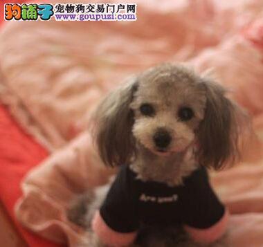 CKU犬舍认证出售高品质贵宾犬微信咨询看狗