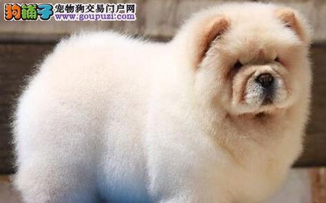热销精品大嘴紫舌深圳松狮犬 可上门挑选质量三包