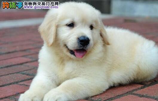 出售金毛健康养殖疫苗齐全微信咨询视频看狗