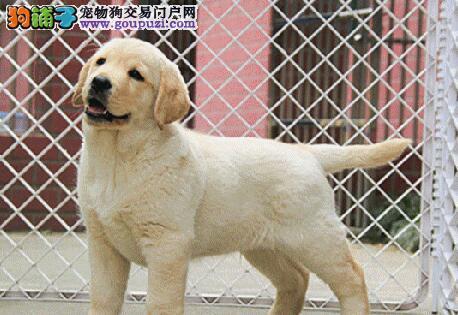 养殖基地热销好品质台州拉布拉多犬品相好签协议