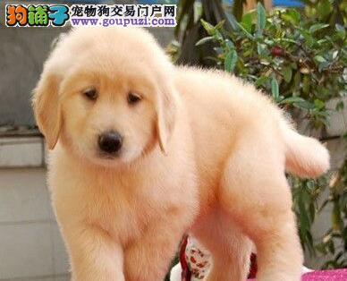 宝鸡专业狗场促销纯种金毛犬骨架大毛量丰富