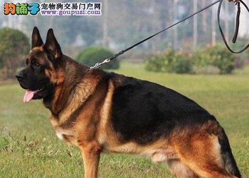 广州正规狗场转让赛级德国牧羊犬公母都有驱虫已做