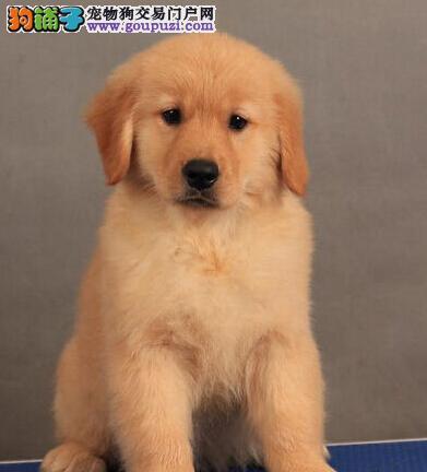 顶级大头版金毛犬超低价出售中 鞍山的朋友上门选