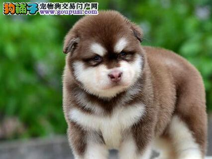 多种颜色英俊帅气的台州阿拉斯加犬特价出售 速来选购