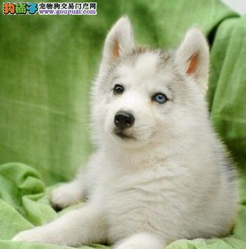 犬舍繁殖超级帅的纯种哈士奇幼犬朝阳热售中 完美售后