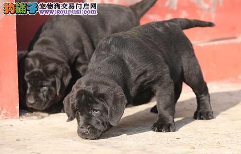 转让超高品质的昆明拉布拉多犬 包活带健康证明