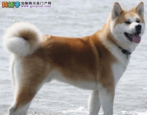 善良忠诚你值得拥有大的秋田犬银川正在出售 低调帅气