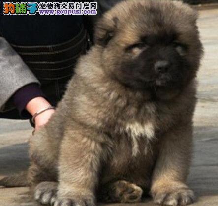出售高大威猛的南京高加索犬 大头版大骨量毛量足