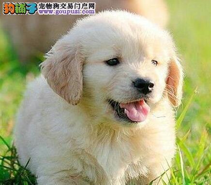 火爆出售金灿灿的贵阳金毛犬 喜欢的朋友上门看种犬