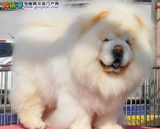 CKU京义犬业-售高品质双冠赛级松狮巴顿直子-健康质保
