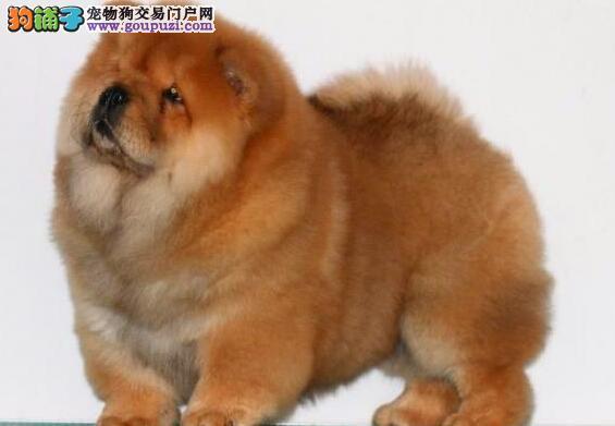 泸州买卖松狮小狗的地方/犬舍直销纯种松狮幼犬1800起