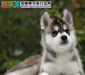 出售纯种健康的双血统的保定哈士奇犬 一份价钱一分货