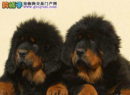 热卖藏獒宝宝、金牌店铺价位最低、提供养狗指导