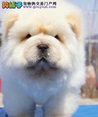 狗场优惠促销深圳松狮犬协议质保售后完善