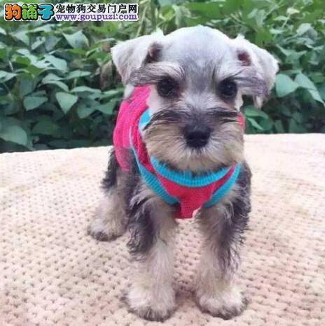 武汉哪里里有雪纳瑞出售喜欢的来我家看看狗狗