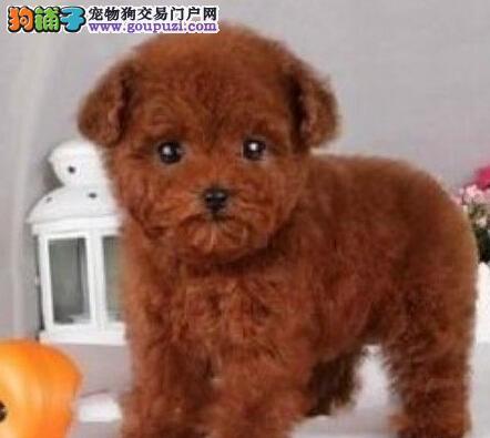 深圳家养多只贵宾犬促销多种颜色品质保证