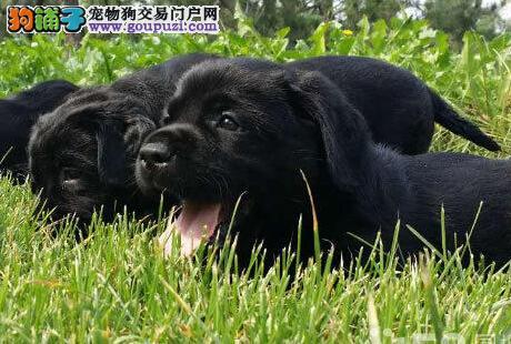 出售纯种健康的兰州拉布拉多幼犬包养活送用品