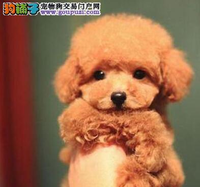聪明韩国泰迪犬潍坊找新家 超高品质 超完美的售后