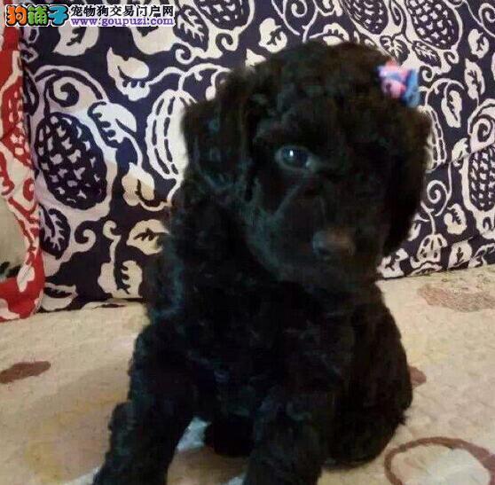 低价出售纯正韩国血统贵宾犬 青岛附近可送狗到家