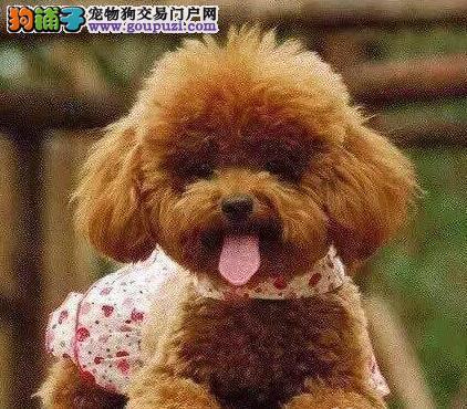 完美品相血统纯正泰迪犬出售当地上门挑选