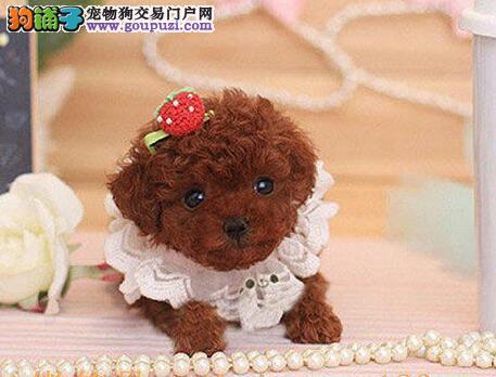 南平自家繁殖泰迪犬出售公母都有加微信送用品