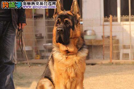 郑州家养赛级德国牧羊犬宝宝品质纯正终身完善售后服务