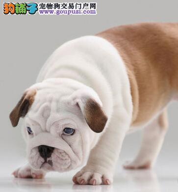 CKU犬舍认证石家庄出售纯种英国斗牛犬品质血统售后均有保障