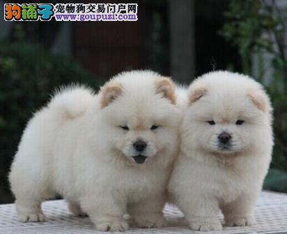 西城松狮犬多少钱一只 正规犬舍热销保证品质和健康