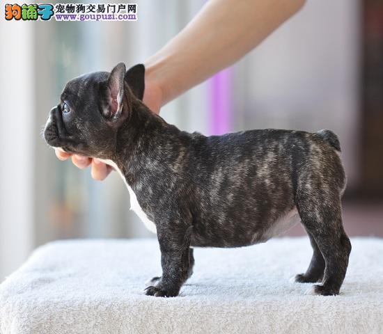 正规犬舍繁殖可爱法牛宝宝 CKU认证绝对信誉