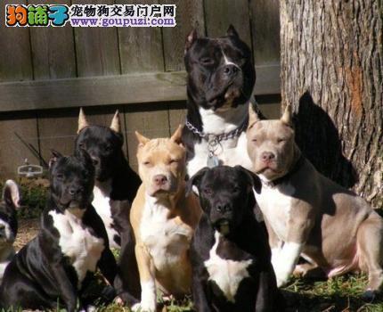 繁殖基地出售多种颜色的美国斗牛犬终身售后保障