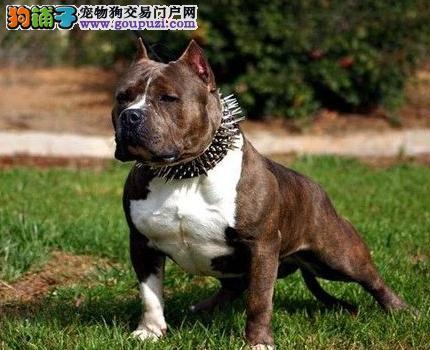 CKU犬舍认证出售纯种美国斗牛犬喜欢微信咨询