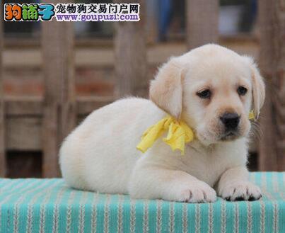 出售聪慧健康的兰州拉布拉多犬 喜欢可随时上门看狗
