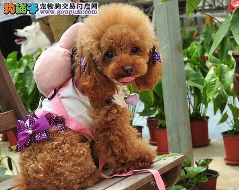 兰州专业繁殖犬舍出售泰迪犬 签合同保健康保证纯种