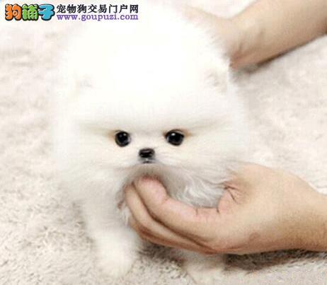哈多利昆明小博美幼犬特价处理中 可签定售后协议书