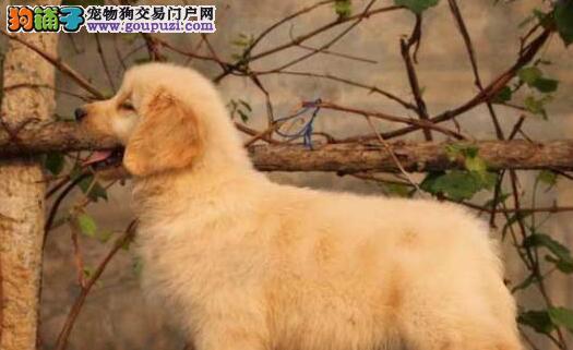 大型基地直销极品金毛犬深圳地区上门可优惠