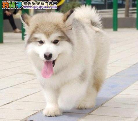 售巨型红黑西安阿拉斯加幼犬 赛级双血统 可签订协议