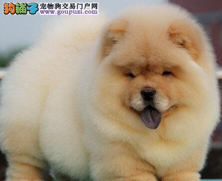 昆明犬舍出售正宗美系大肉嘴松狮宝宝 紫色舌头毛量足