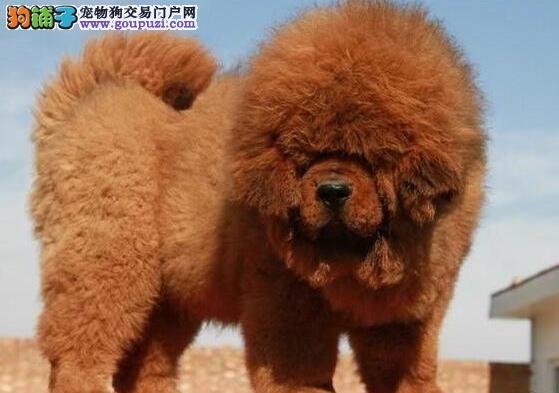 深圳出售纯种狮子头藏獒 打造成功男士的品味