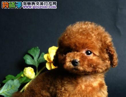 出售极品韩系贵宾犬 北京周边可上门挑选商议价格