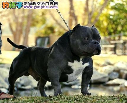 出售美国恶霸犬幼犬品质好有保障市内免费送货